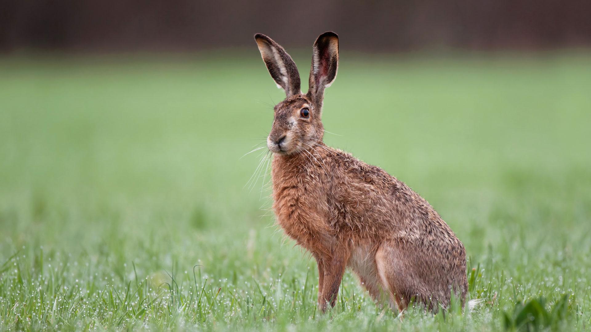 Hare-Λαγός