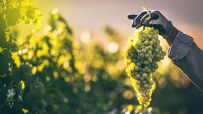 Αρωματικές ελληνικές ποικιλίες κρασιού.